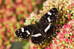 Summer Map or Araschnia levana in fall. Dark colored summer generation of Map butterfly or Araschnia levana on Sedum flowers in autumn Stock Images
