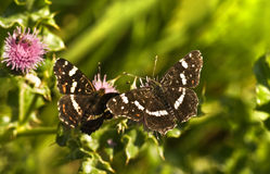 Summer Map butterflies or Araschnia levana Royalty Free Stock Image