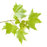 Summer maple branch Royalty Free Stock Photography
