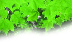 Summer maple foliage on a white background Stock Images