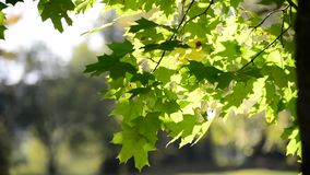 Summer maple leaves on sunny day stock video footage