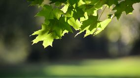 Summer maple leaves on sunny day stock footage