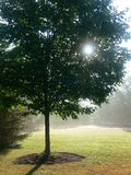 Summer: maple tree in mist. Sunlit maple tree against misty background Royalty Free Stock Image