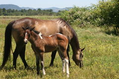 Summer Mare and Filly Royalty Free Stock Photography