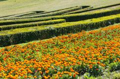 Summer marigold flowerbed and trimmed boxwood in park hillside Stock Photos