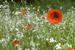 Summer meadow. Red field poppies Royalty Free Stock Photos