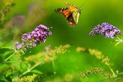 Summer Meadow. Monarch Butterfly in the Fly and Green Blossom Meadow Stock Photos