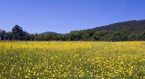 Summer Meadow. Alpine meadow of daisy's in summer Stock Photo