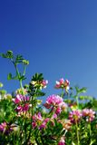 Summer meadow. With blooming pink flowers crown vetch and bright blue sky stock image