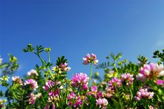 Summer meadow. With blooming pink flowers crown vetch and bright blue sky stock photography
