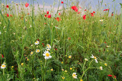 Summer meadow Royalty Free Stock Image