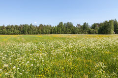 Summer meadow Stock Image