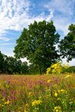 Summer Meadow. Beautiful summer meadow in Czech countryside Royalty Free Stock Image