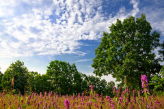 Summer Meadow. Beautiful summer meadow with tree and sky background Stock Photography