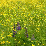 Summer meadow. View of summer meadow with lots of flowers Stock Photography