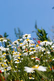 Summer meadow. Close up Royalty Free Stock Photography