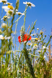 Summer meadow. Close up Royalty Free Stock Photos