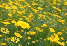 Summer Meadow. Meadow of wild flowers Stock Photos