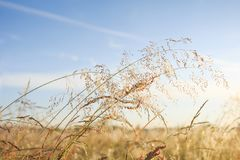 Summer meadow background. Gold grass and clear blue sky. Summer nature on sunny day. Stock Images