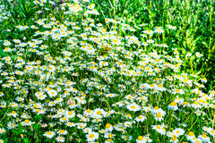 Summer meadow with blooming daisies in the green grass. Beautiful green field landscape royalty free stock images