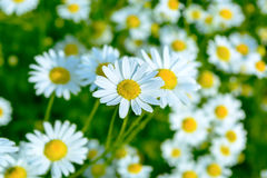 Summer meadow of blooming daisies, selective focus. Beautiful green field landscape royalty free stock images