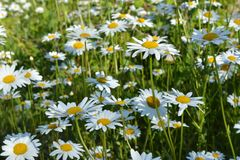 Summer meadow with chamomile flowers. Blooming daisies in sunny day.  stock image