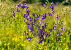 Summer meadow closeup. Wild summer grass and wildflowers closeup. Wild summer grass and wildflowers closeup. Field bell in closeup against the background of stock photography