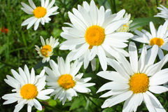 Summer meadow of daisies Stock Images