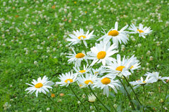 Summer meadow of daisies Stock Image