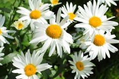 Summer meadow of daisies Stock Photos