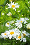 Summer meadow of daisies Royalty Free Stock Image