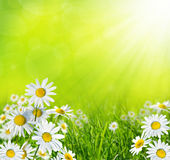 Summer meadow with daisies Stock Photo