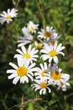 Summer meadow of daisy flowers Stock Photography