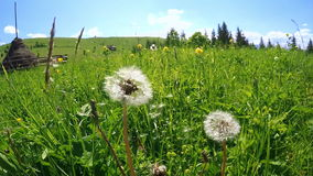 Summer meadow with dandelion seeds blown in the wind under blue sky. Amazing sunny day in mountains stock video footage