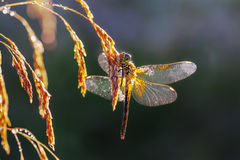 Summer meadow a dragonfly on a grass Stock Photography