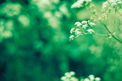 Summer meadow flower. Summer meadow white flower with sunlight Royalty Free Stock Photo