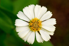 Summer meadow flower with yellow stamen and white petals. Gerbera macro photo. Simple blooming daisy macro photo. Summer blossom in garden. Floral image for stock photo