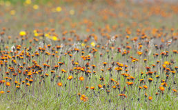 Summer meadow, blooming orange flowers, Falkland Islands Stock Photo