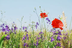 Summer meadow flowers Royalty Free Stock Photography