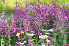 Summer meadow flowers Royalty Free Stock Image