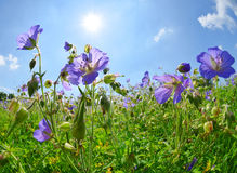 Summer meadow with flowers Geranium pratense Stock Images