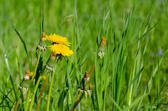 Summer meadow, flowers and green grass royalty free stock photos