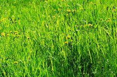 Summer meadow, flowers and green grass royalty free stock images