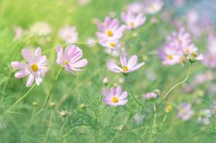 Summer meadow flowers pink. Flowers in sunlight on blurred background. Selective focus stock photo