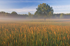 Summer Meadow in Fog Royalty Free Stock Image