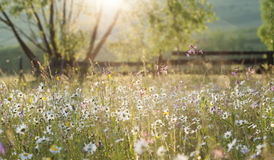 Summer meadow full with daisies after rain Stock Photography