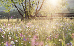 Summer meadow full with daisies after rain. At sunset Royalty Free Stock Photo