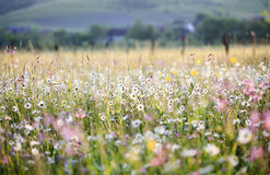 Summer meadow full with daisies after rain Royalty Free Stock Photos