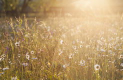 Summer meadow full with daisies after rain Royalty Free Stock Photography