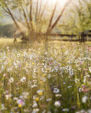 Summer meadow full with daisies after rain Stock Photo